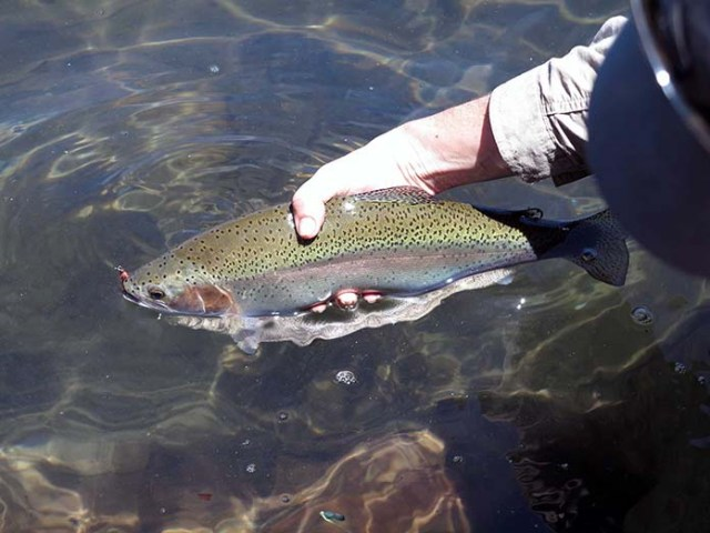trout_upper_maggie_lakes