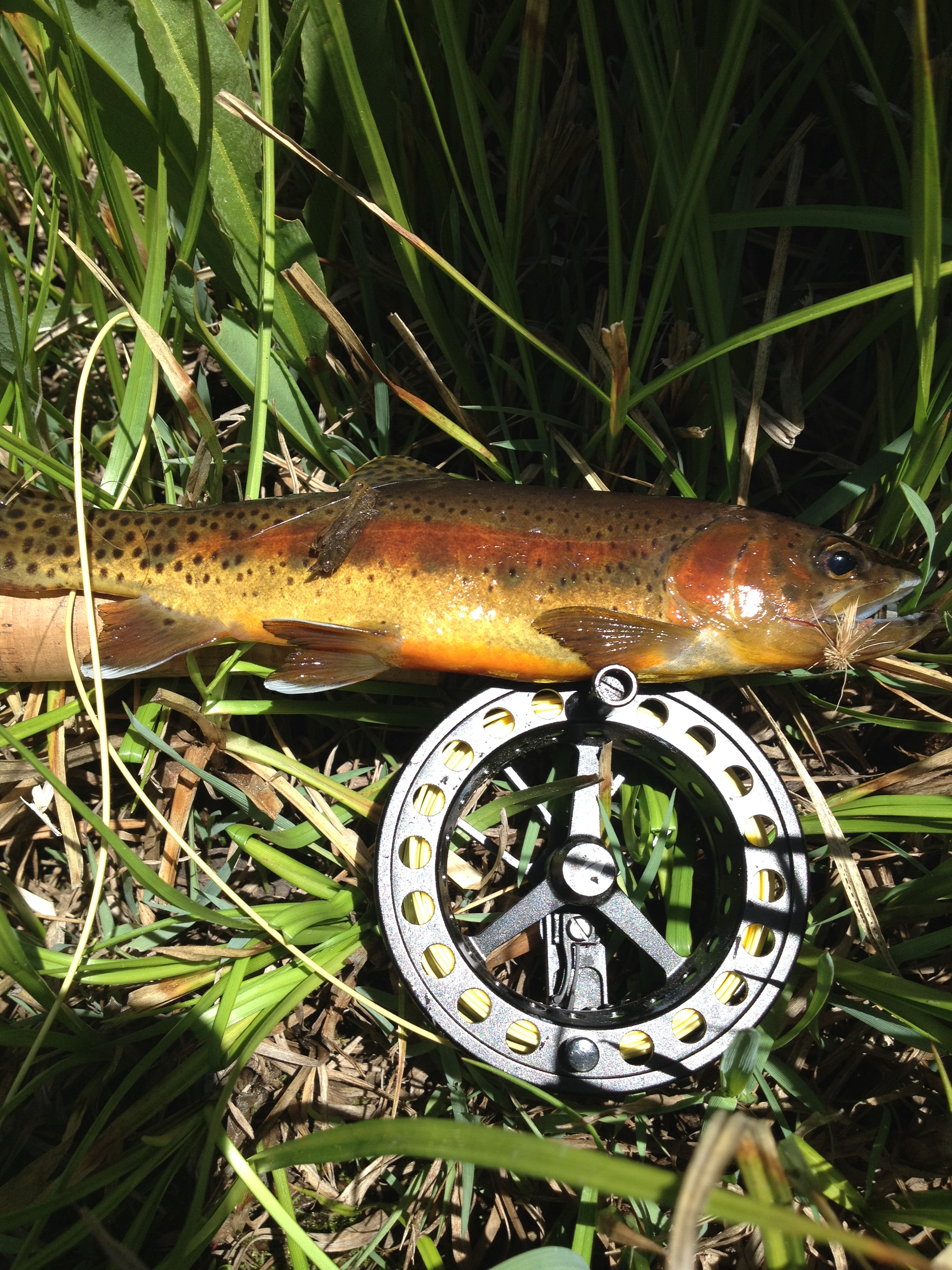 Clicks creek fishing golden trout wilderness for Golden trout fishing