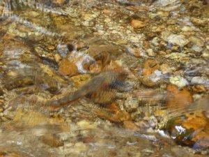 Golden Trout in South Fork Kern River